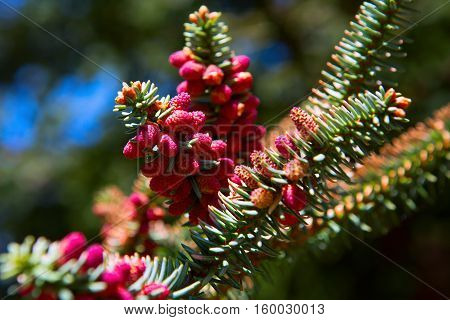 Close Up Of Red Cones On Spanish Fir Tree Branch