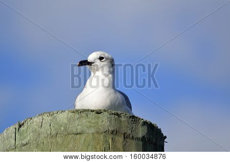 Seagull resting on a wooden piling on the river