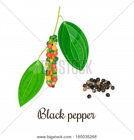 Blossoming black pepper with seeds. String of Green red yellow and black peppercorns on a Branch. Unripe and ripe. Black pepper. Vector illustration. Also Piper nigrum. For menu cosmetics tag