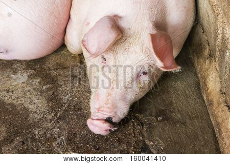 Closeup pig face pig lay down in hoven