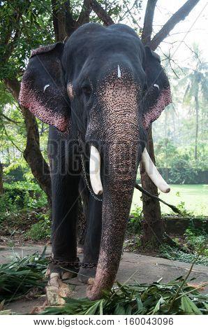 Asian elephant at a zoo close up