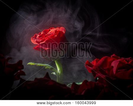 scarlet rose bud fanned a haze lit by a ray of light