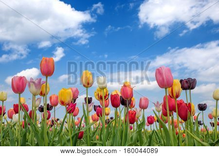 Tulip Flowerbed With Blossoms In Various Colors
