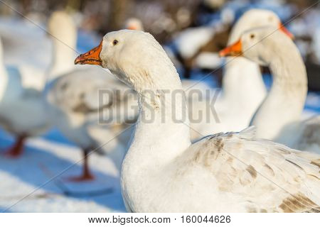 White domestic goose on a farmstead in the winter.