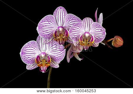 Close-up of white-pink striped orchid flowers. Zen in the art of flowers. Macro photography of nature.