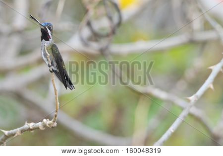 Long-billed Starthroat (Heliomaster longirostris) juvenile male perched on a tree branch in the mountain region of Panama