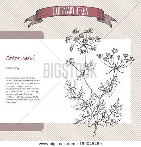 Caraway aka Persian cumin, Carum carvi, hand drawn sketch. Culinary herbs collection. Great for cooking, medical, gardening design