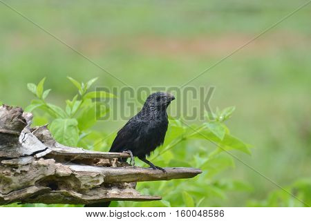 Groove-billed ani (Crotophaga sulcirostris) perched on an old tree trunk