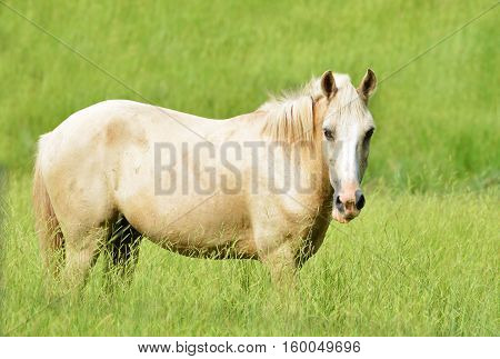 Beautiful blonde Palomino horse standing in a tall grass field