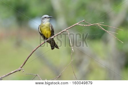 tropical kingbird (Tyrannus melancholicus) perched on a tree branch in Panama