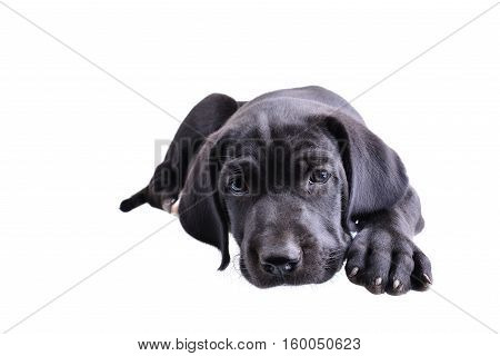 Close up of a black pup laying down isolated on a white background