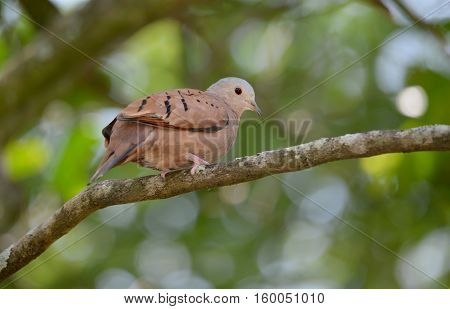 Ruddy ground dove (Columbina talpacoti) perched on a tree branch