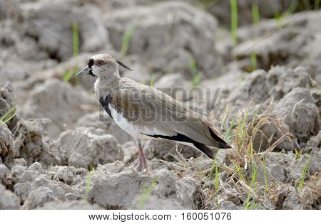Southern Lapwing (Vanellus chilensis) guarding a nest near a rice field in the countryside of Panama