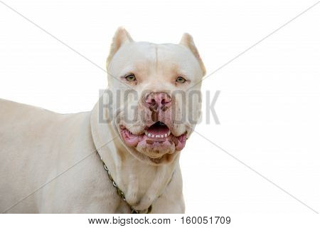 Close up of a Pitbull male isolated ona white background