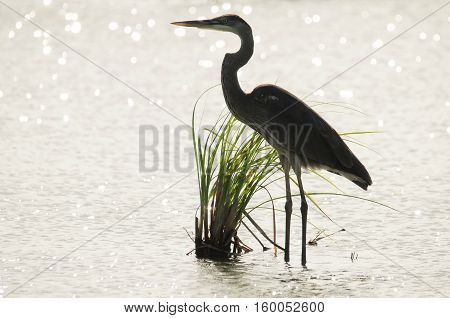 Great Blue Heron silhouette in the water looking for fish