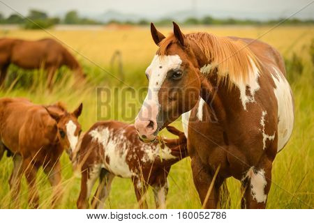 Beautiful painted mare with foal and colt eating grass in a pasture field
