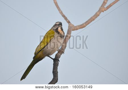 Buff-throated saltator perched on a tree branch