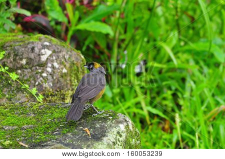 Dusky -faced Tanager on top of a rock