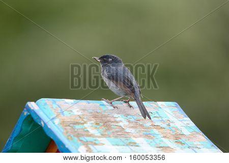 Small Flowerpiercer on top of a garden feeder in Boquete Panama.