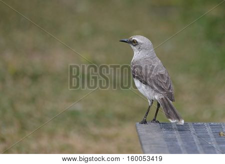 Close up of a Tropical Mockingbird with a blur green background