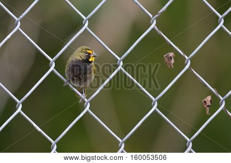 Yellow-faced Grassquit perched on a chain link wire fence