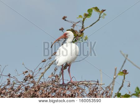 Beautiful White Ibis perched on top of a tree