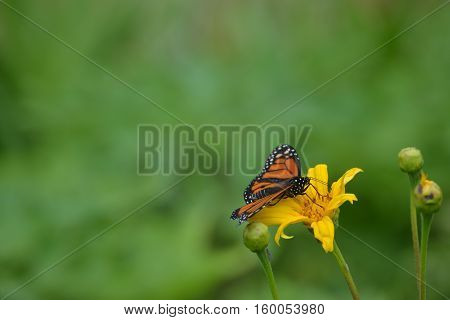Beautiful Monarch butterfly feeding on a yellow flower