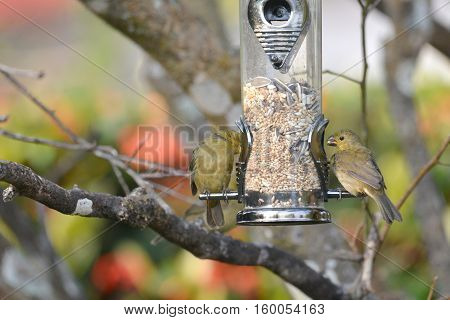 Seedeater birds eating from a backyard feeder on a tree