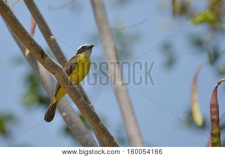 Rusty-margined Flycatcher perched on a tree branch
