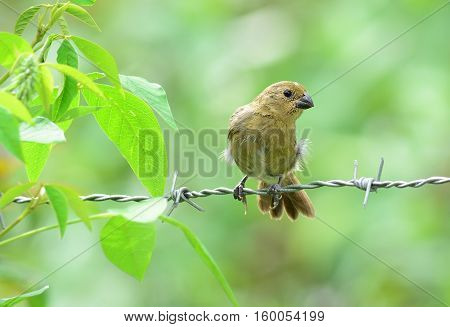 Variable seedeater (Sporophila corvina) female perched on a barbwire fence line