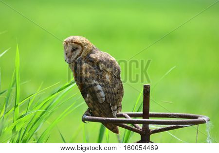 Beautiful Barn Owl out during the day and perched on an old river dam handle