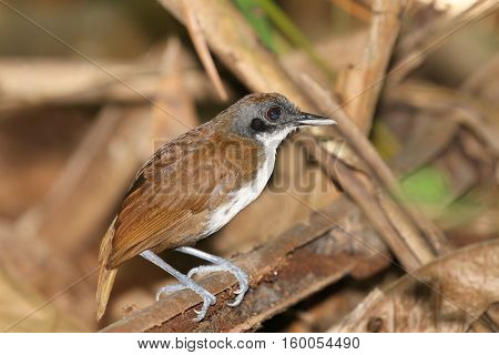 Bicolored Antbird (Gymnopithys bicolor) inside the rain forest of Pipeline Road Panama.