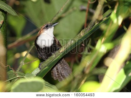 The elusive Black-bellied Wren captured in a perch inside the lush rain forest of Panama