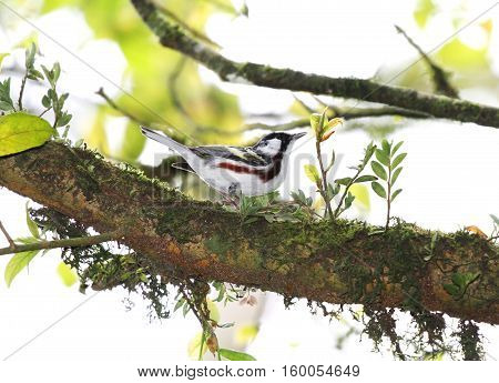 Chestnut-sided Warbler looking for insects on a tree branch