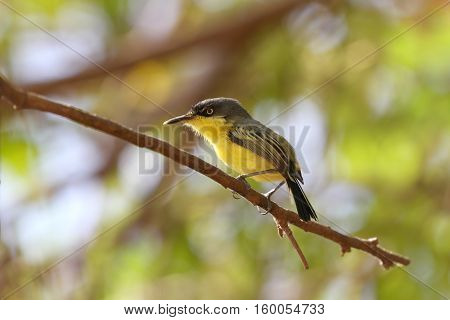 Common tody-Flycatcher perched on a tree branch with a vibrant blured leaves background