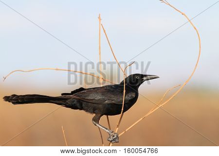 Great-tailed Grackle or Mexican Grackle (Quiscalus mexicanus) male perched on branches of a grassy plant in Panama