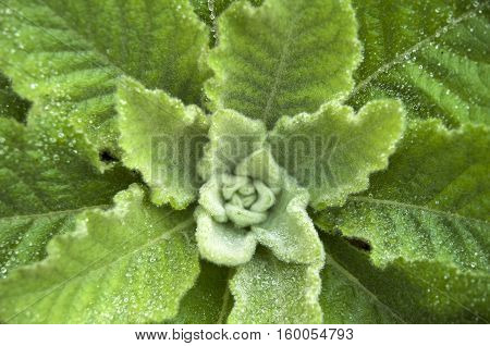 Dense rosette of leaves of mullein closeup