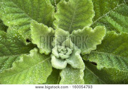 Dense rosette of leaves of mullein closeup