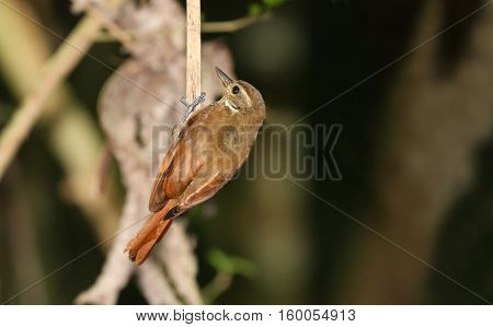 Plain Xenops (Xenops minutus) looking for termites on a tree branch