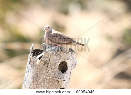 Plain-breasted Ground Dove ( Columbina minuta) perched on top of a fence post