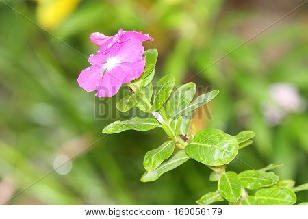 Close up of a Periwinkle or Vinca flower with a lush green background