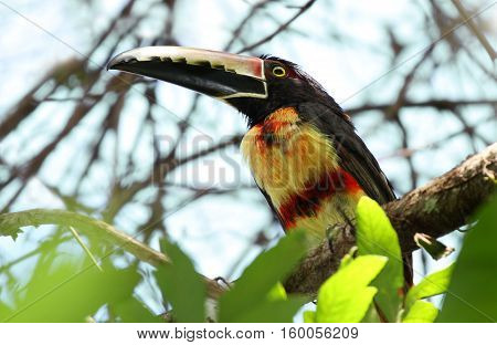 collared araçari (Pteroglossus torquatus) perched on a tree branch high in the canopy
