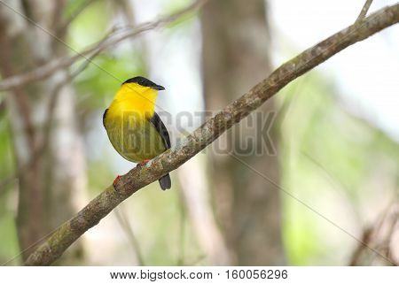 Beautiful Golden-collared Manakin male perched on a tree branch showing its vibrant colorful plumage