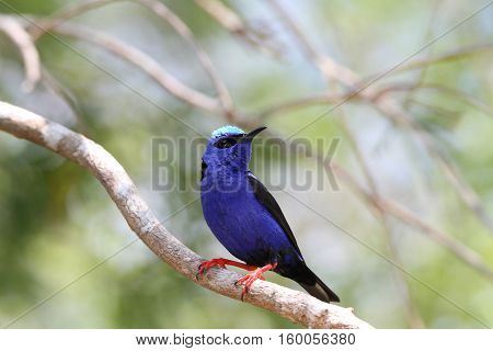 Beautiful Red-legged Honeycreeper male perched on a tree branch