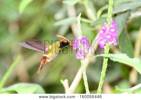 Rufous-crested Coquette (Lophornis delattrei) male flying over Porter Weed flowers getting their sweet nectar