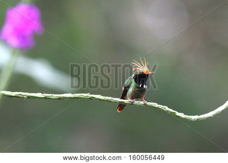 Rufous-crested Coquette (Lophornis delattrei) male perched on a Porter Weed plant branch