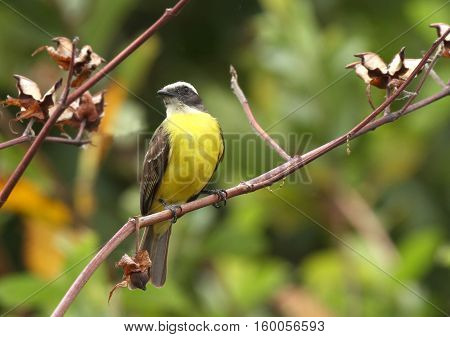Social Flycatcher bird perched on a tree branch