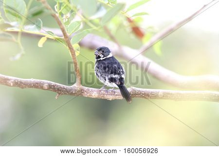 Variable Seedeater (Sporophila corvina) male perched on a tree branch