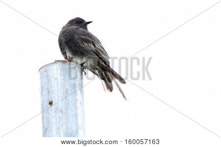 Black Phoebe bird perched on a post with a white background