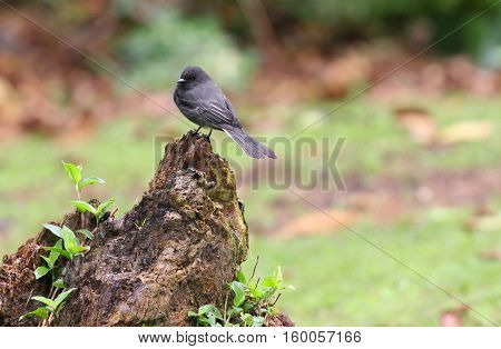 Black Phoebe bird perched on a tree stump with a green background